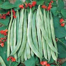 10 SCARLET RUNNER BEAN SEEDS 2021 (all non-gmo heirloom vegetable seeds!)