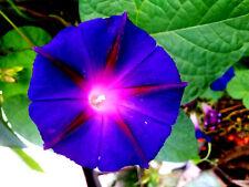 bunte Trichterwinde, Ipomoea indica, MISCHUNG Ampelpflanze, Balkon,Blumenzaun