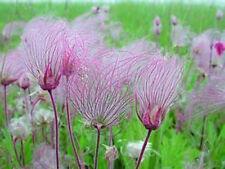 Geum triflorum Prairie Smoke  25 seeds