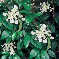 Hydrangea Seemanii  in 9cm pot  evergreen climbing hydrangea