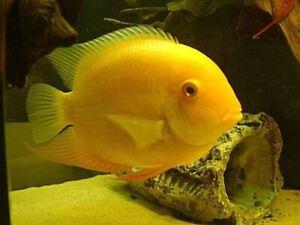 Golden Severum (Heros efasciatus) - Stunning Cichlid