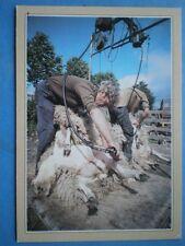 POSTCARD SOCIAL HISTORY TRADITIONAL CRAFTS - SHEEP SHEARING