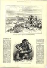 1877 PONGO Gorilla Royal ACQUARIO guardando BOMBARDAMENTO KARS Incisione