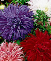 Aster Seeds, Giants Of California, Mixed Asters, Heirloom Flower Seeds 50ct