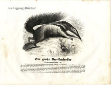 The Giant Anteater, 1841 Original Antique Wood Engraving.