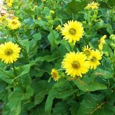 SILPHIUM PERFOLIATUM - 10' CUP PLANT 75+ SEEDS - NEW CROP - MADE in USA - LOOK!