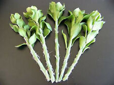 "Pereskiopsis grafting stock pereskia cactus rare graft leaf cacti 20 cuttings 4"""