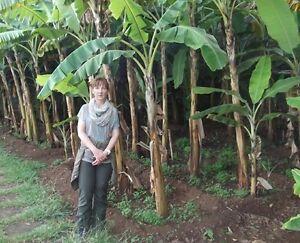 Winterhärteste Banane der Welt : Smarte japanische Faserbanane Musa b. - Saatgut