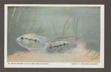 [64545] Old Postcard Broad-Headed Cichlid, New York Aquarium