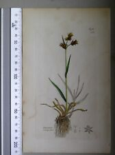 English Botany, Smith, Sowerby, handcoloured copperplate, 517, 3.Edition, 1850.
