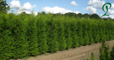 Thuja Brabant Lebensbaum 200/220 cm Höhe. 23,- €. Heckenpflanzen.