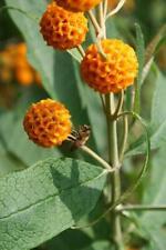 Buddleia globosa in 50mm Forestry Tube Bee Friendly Autumn Flowering Perennial