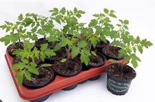Tomatenpflanzen Tomate -  Harzfeuer, Cocktailtomate, Fleischtomate, Rispentomate