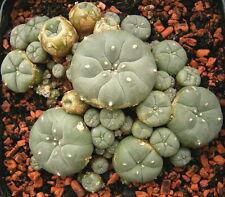 25 X Peyote (Lophophora williamsii) Seeds