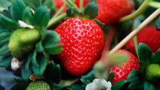100 Piece Giant Strawberry Seeds Fruit Vegetable Seed Home Garden Indoor Outdoor