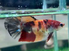 New listing [Ngf - 0993] Live Betta Fish Giant Nemo Tiger Female