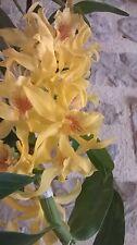 RARE orchidee parfumée dendrobium nobile jaune