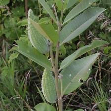 1/4 Lb Common Milkweed Wildflower Seeds - Everwilde Farms Mylar Seed Packet