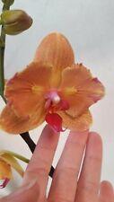 Orchidee Phalaenopsis CARROTCAKE, pelorisch nach 2 Eyes-Typ, blüht im moment
