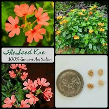 10+ FIRE CRACKER FLOWER SEEDS (Crossandra infundibuliformis) Tropical Indoor