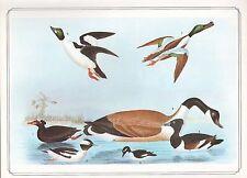 VINTAGE BIRD PRINT SCOTER BUFFEL-HEAD CANADA GOOSE GOLDENEYE ~ ALEXANDER WILSON