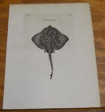 1776 Antique Fish Print///THORN-BACK///a