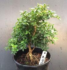 Bonsai Tree Kingsville Boxwood Pre Bonsai 8 Years Old Ready To Pot As Bonsai