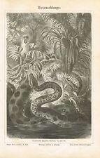 Tafel ANAKONDA / RIESENSCHLANGE 1889 Original-Holzstich