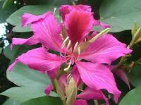 50pcs Bauhinia Orchid Tree Seeds Mixed Cercis Fragrant Bonsai Plant Home Garden