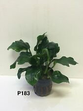 Live Fresh Water Potted Plant Anubias nana 'sp' Thick Leaf P183 (refer * *)