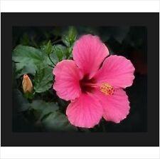 10 Pink Hibiscus seeds