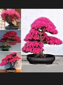 Japanese Sakura Cherry Blossom Flower Bonsai Rare Tree Seeds UK STOCK