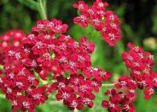 300+ semi Achillea millefolium Red Yarrow-rossa nitida Covone