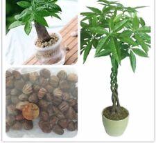 1 Piece Mini Pachira Macrocarpa Seeds Make Money Tree Bonsai Pot Indoor Plant
