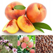 Ji_ 50 Pcs Seeds Peach Tree Plants Easy To Grow SweetPeach Bonsai Plant Garden
