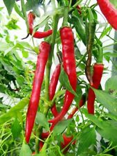 Organic Chili Rings of Fire SUPER HOT (approx 100 seeds) chillis