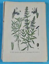 1893 Ancienne Lithographie Hysope Officinale Gaston Bonnier Botanique