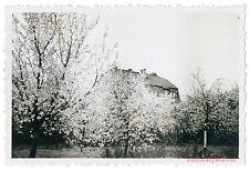 altes Foto / vintage photo – Baumblüte Garten Baum