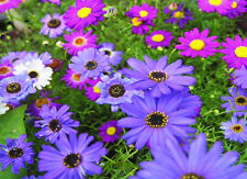 SWAN RIVER DAISY MIX - 8000 SEEDS - Brachyscome iberidifolia - ANNUAL BEDDING