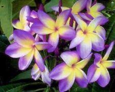 5 Yellow Purple Plumeria Seeds Plants Flower Flowers Perennial Seed 543 US SELLE