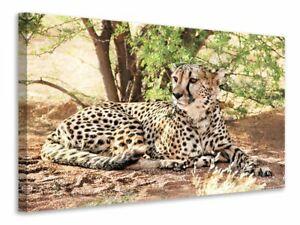 Leinwandbild Sonnender Gepard