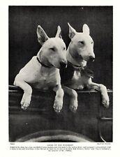 1930s Antique Bull Terrier Dog Print Vintage Judington Bull Terriers 3933g