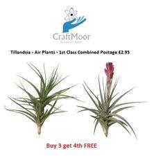 Air Plants - Tillandsia Airplants - Quality House Plants - Finest quality