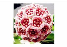 On Sale!24Color 200Pcs Orchid Ball Rare Ball Orchid Flower Perennial Plant Hoya