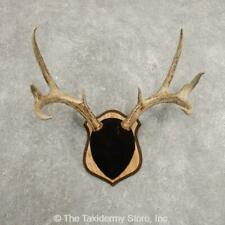 #20995 N+ | Whitetail Deer Antler Plaque Taxidermy Mount For Sale