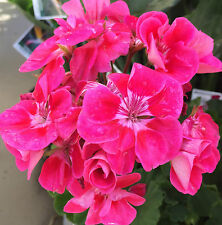 PINKTASTIC Geranium pelargonium x hortorum bright flower mature plant 140mm pot