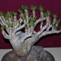 20pcs Bonsai Pachypodium Rosulatum Gracilius Seeds Very Rale Tree Home Garden