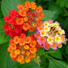 40 pcs Lantana camara flower seeds