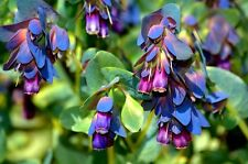 FLOWER CERINTHE MAJOR HONEYWORT BLUE SHRIMP PLANT 50 FINEST SEEDS