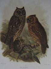 c1880 PRINT KEULEMANS MADAGASCAR ~ SULAWESI SCOPS-OWL